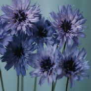 Catananche caerulea Amor Blue - 20 seeds
